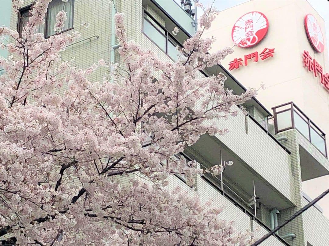 Exterior shot of Akamonkai Japanese School framed by Japanese cherry blossoms